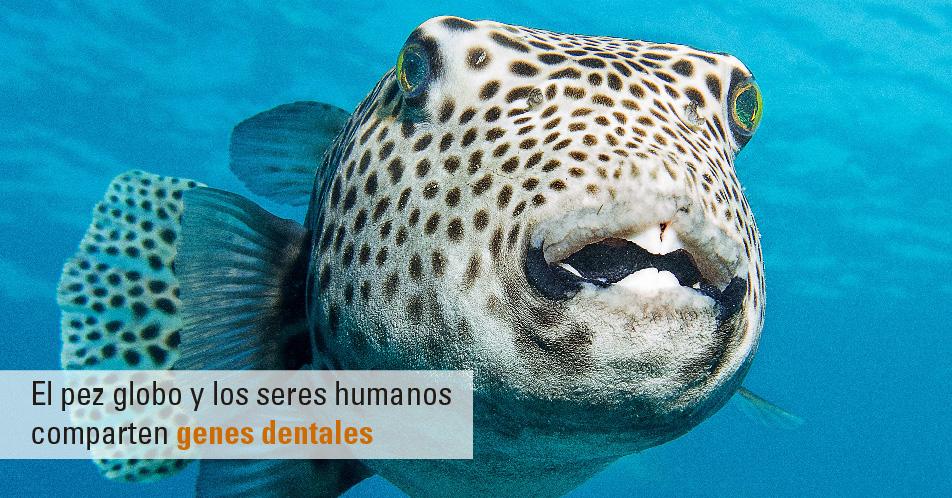 El pez globo y los seres humanos comparten genes dentales